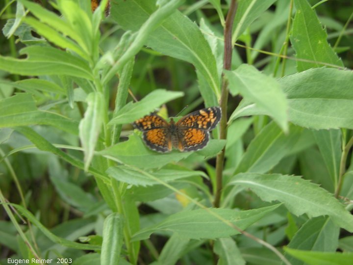 IMG 2003-Jul03 at PTH15 east of Anola:  Checkerspot butterfly (Chlosyne sp) male