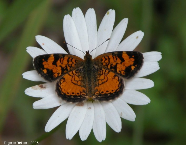 IMG 2003-Jul05 at MilnerRidge:  Pearl-crescent butterfly (Phyciodes tharos) on Ox-eye daisy (Leucanthemum vulgare)