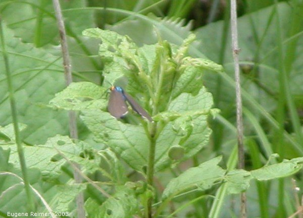 IMG 2003-Jul05 at MilnerRidge:  Virginia ctenuchid moth (Ctenucha virginica)