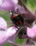 2003-Jul05 at MossSpurRd:  Black-and-red shiny stinkbug (Stiretrus anchorago) mating on Marsh hedge-nettle (Stachys palustris)