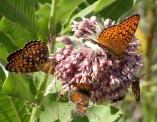 2003-Jul05 at MossSpurRd:  Showy milkweed (Asclepias speciosa) with many butterflies