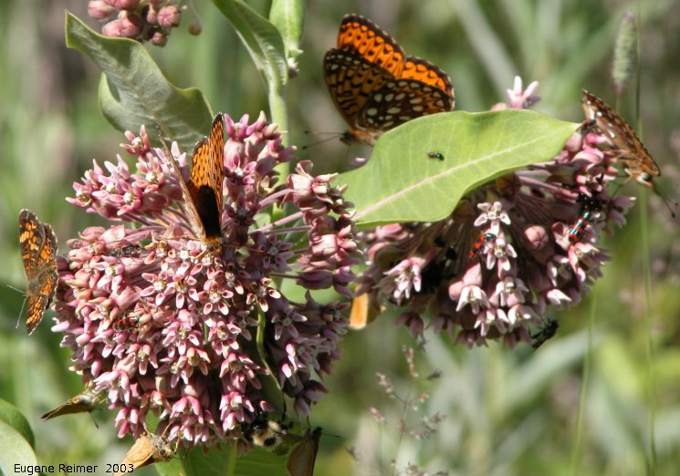 IMG 2003-Jul05 at MossSpurRd:  Common milkweed (Asclepias syriaca) with many butterflies