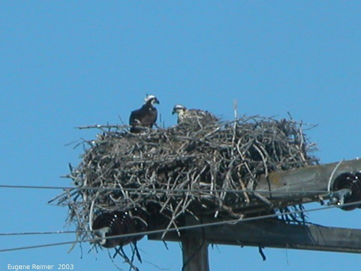 IMG 2003-Jul16 at GrandBeach:  Osprey (Pandion haliaetus) mother+chick on nest on hydro-structure