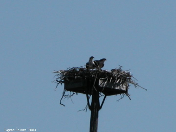 IMG 2003-Jul16 at GrandBeach:  Osprey (Pandion haliaetus) 2 adults on nest near tennis-courts