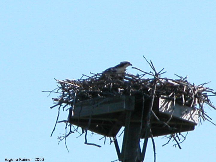 IMG 2003-Jul16 at GrandBeach:  Osprey (Pandion haliaetus) on nest near tennis-courts