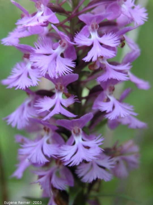 IMG 2003-Jul19 at BuffaloPoint:  Small purple fringed-orchid (Platanthera psycodes) flowers