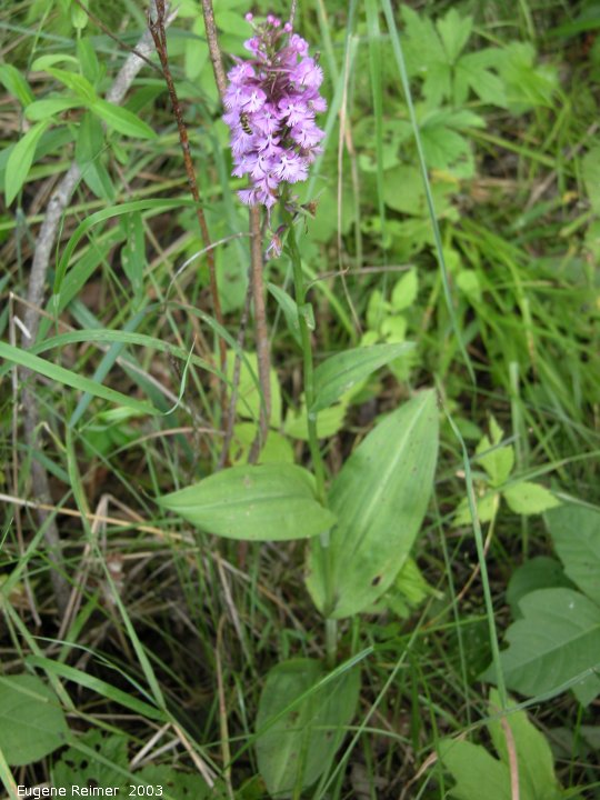IMG 2003-Jul19 at BuffaloPoint:  Small purple fringed-orchid (Platanthera psycodes) plant
