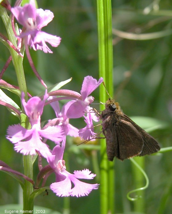 IMG 2003-Jul19 at BuffaloPoint:  Dun skipper (Euphyes vestris) on Small purple fringed-orchid (Platanthera psycodes) subtitle: psyche on psycodes