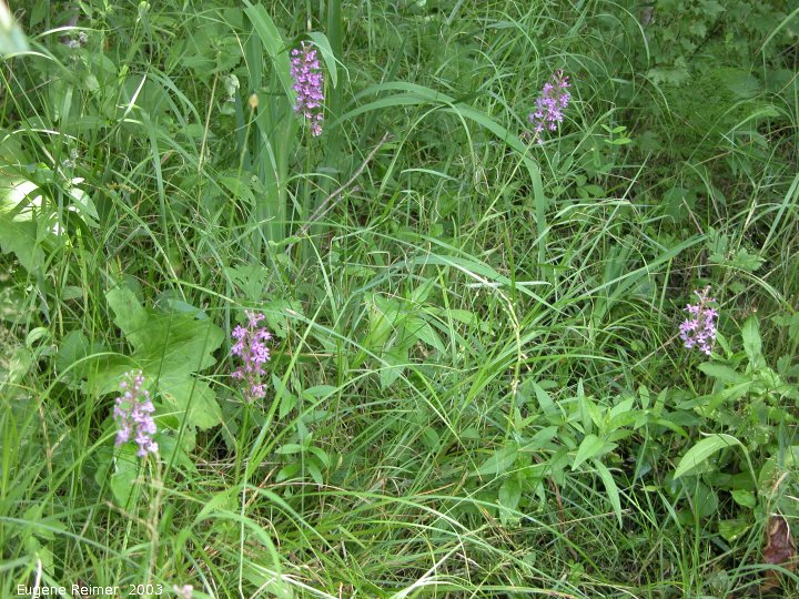 IMG 2003-Jul19 at BuffaloPoint:  Small purple fringed-orchid (Platanthera psycodes) clump