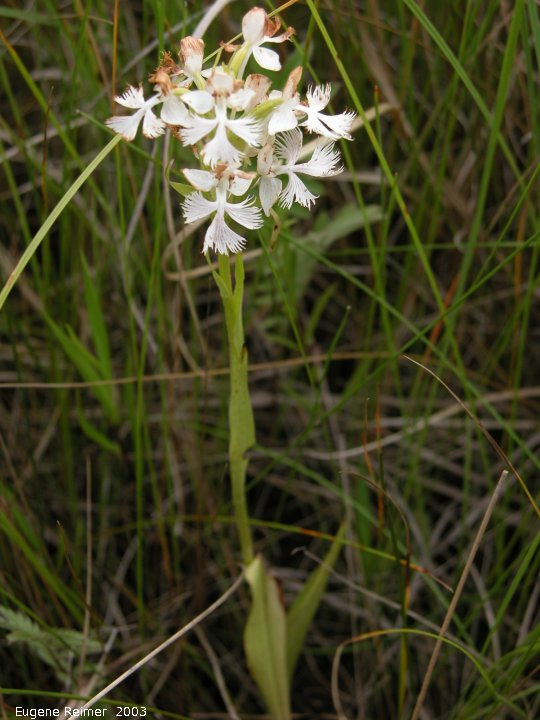 IMG 2003-Jul19 at Tolstoi TGPP:  Western prairie fringed-orchid (Platanthera praeclara) pale-pink-form now faded - plant