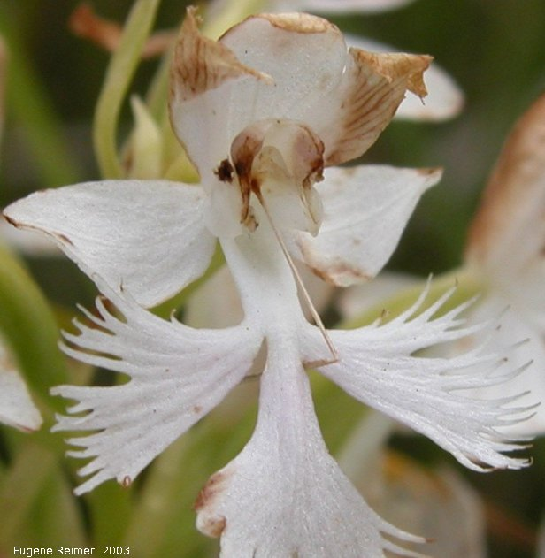 IMG 2003-Jul19 at Tolstoi TGPP:  Western prairie fringed-orchid (Platanthera praeclara) pale-pink-form now faded - flower cropped