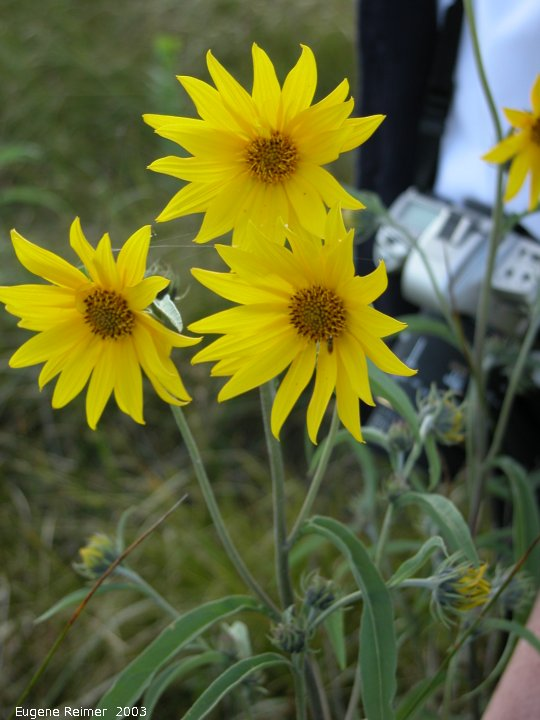 IMG 2003-Jul26 at TCH#1 near Lorette:  Narrow-leaved sunflower (Helianthus maximiliani)
