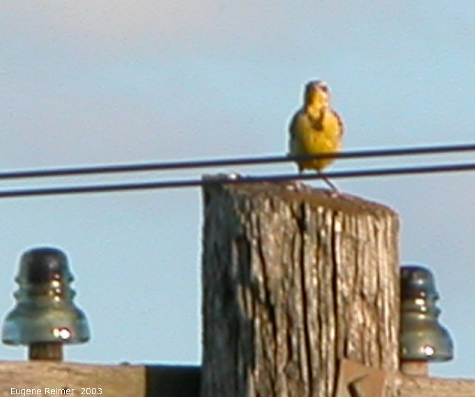 IMG 2003-Jul26 at TCH#1 near Lorette:  Western meadow-lark (Sturnella neglecta) on hydro-pole