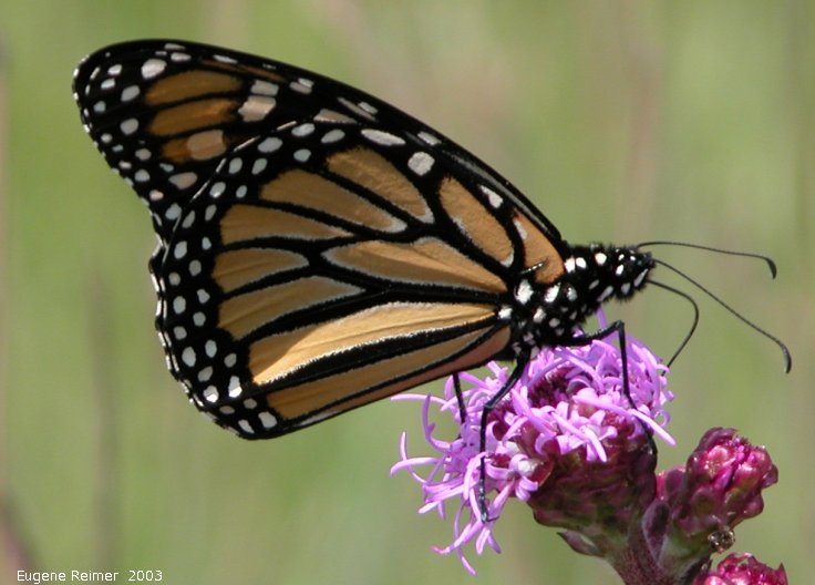 IMG 2003-Aug03 at TCH near Landmark:  Monarch butterfly (Danaus plexippus) on Meadow blazing-star (Liatris ligulistylis)