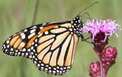 2003-Aug03 at TCH near Landmark:  Monarch butterfly (Danaus plexippus) on Meadow blazing-star (Liatris ligulistylis)