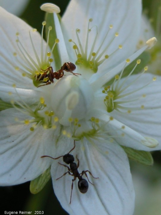 IMG 2003-Aug03 at Hadashville:  Marsh grass-of-parnassus (Parnassia palustris) with Ants