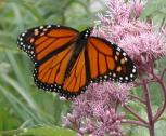 2003-Aug09 at PTH15:  Monarch butterfly (Danaus plexippus) on Joe-Pye weed (Eupatorium purpureum)