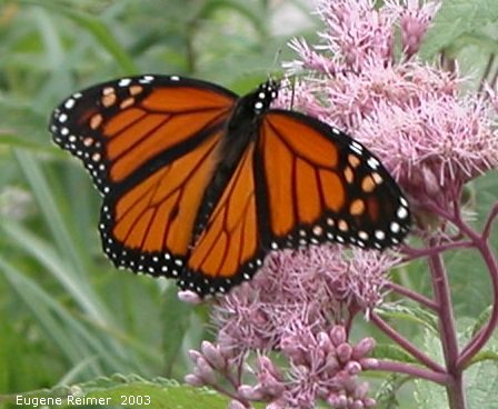 IMG 2003-Aug09 at PTH15:  Monarch butterfly (Danaus plexippus) on Joe-Pye weed (Eupatorium purpureum)