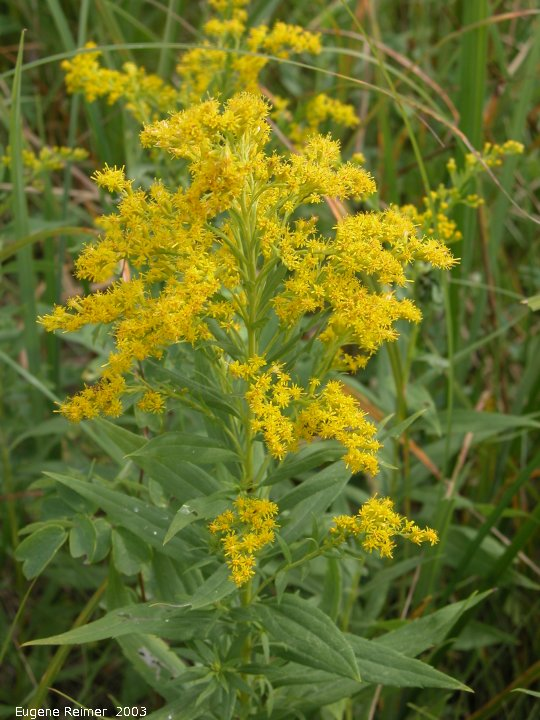 IMG 2003-Aug09 at PTH15:  Canada goldenrod (Solidago canadensis)