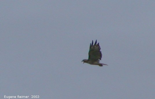 IMG 2003-Aug09 at MossSpurRoad:  Redtailed hawk (Buteo jamaicensis) screams at us