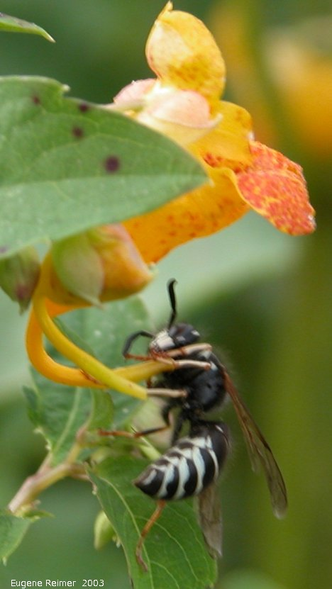 IMG 2003-Aug09 at MossSpurRoad:  Hornet (Vespa sp) on Spotted jewelweed (Impatiens capensis)