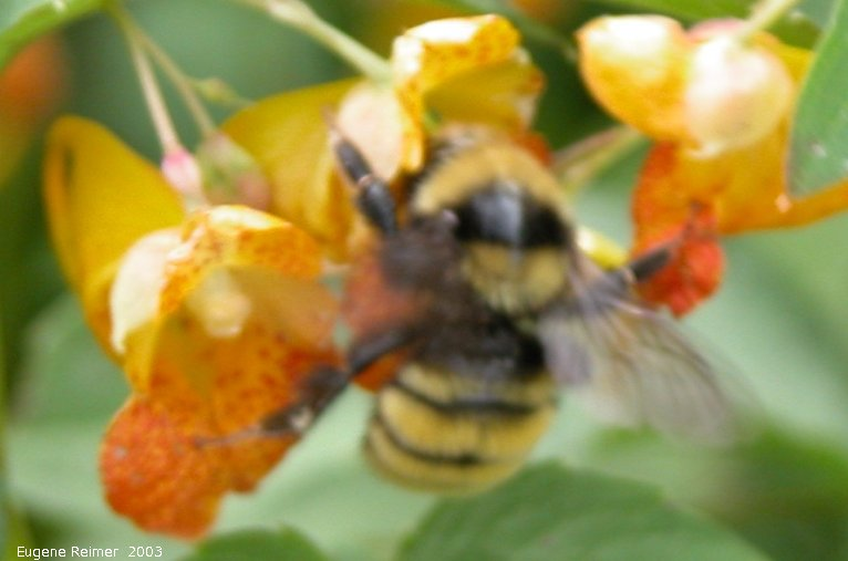 IMG 2003-Aug09 at MossSpurRoad:  Bumblebee (Bombus sp) on Spotted jewelweed (Impatiens capensis)