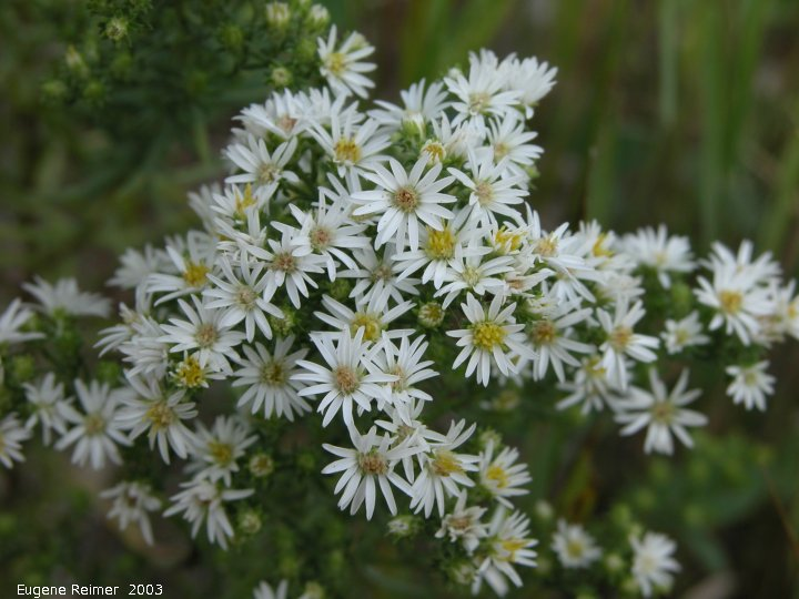 IMG 2003-Aug09 at MossSpurRoad:  Many-flowered aster (Symphyotrichum ericoides)