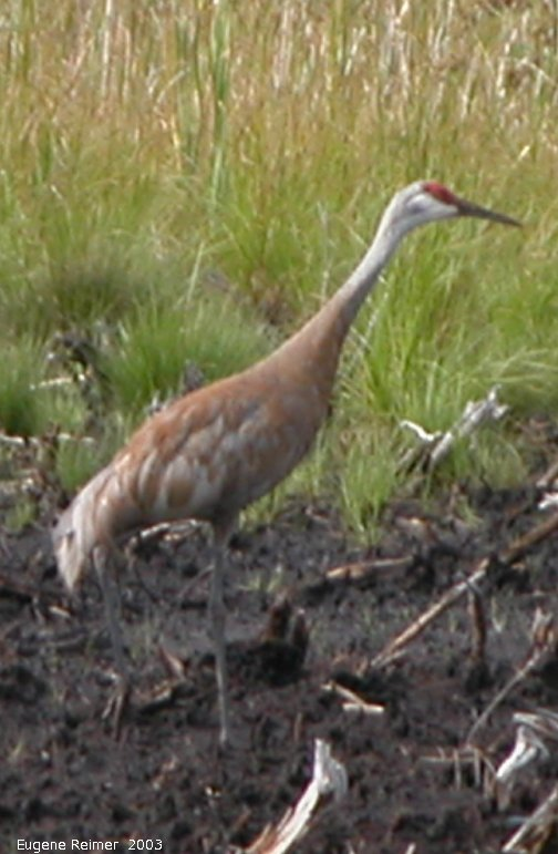 IMG 2003-Aug09 at MossSpurRoad:  Sandhill crane (Grus canadensis) solitary