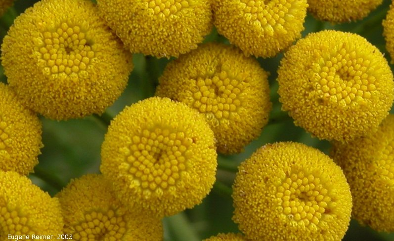 IMG 2003-Aug09 at MossSpurRoad:  Common tansy (Tanacetum vulgare) closeup