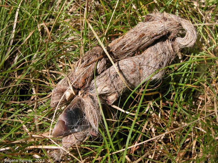 IMG 2003-Aug15 at SandilandsSelectiveCutting:  Grey wolf (Canis lupus) dung with deer-hair and deer-hoof