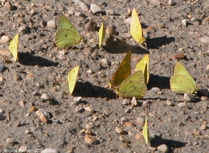 IMG 2003-Aug21 at ForestryRd#13:  Cloudless sulphur butterfly (Phoebis sennae) many puddling