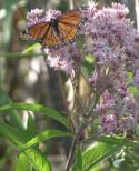 2003-Aug21 at ForestryRd#13:  Viceroy butterfly (Limenitis archippus) on Joe-Pye weed (Eupatorium purpureum)