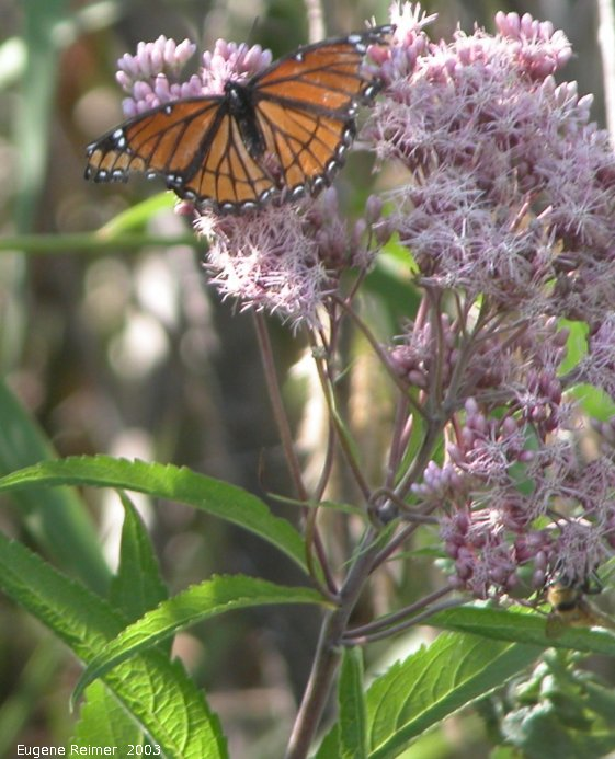 IMG 2003-Aug21 at ForestryRd#13:  Viceroy butterfly (Limenitis archippus) on Joe-Pye weed (Eupatorium purpureum)