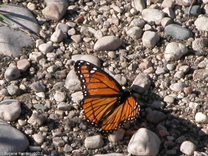 IMG 2003-Aug21 at ForestryRd#13:  Viceroy butterfly (Limenitis archippus) on gravel