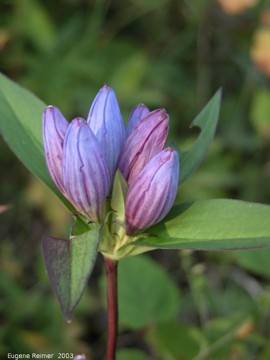 IMG 2003-Aug22 at ForestryRd#13 and ForestryRd#1:  Closed bottle-gentian (Gentiana andrewsii)