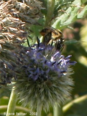 IMG 2003-Aug24 at MordenResearchStation:  Yellow-jacket (Vespula sp)? on Thistle (Cirsium sp)