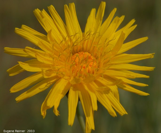 IMG 2003-Sep05 at near Rosa:  Sow thistle (Sonchus arvensis)