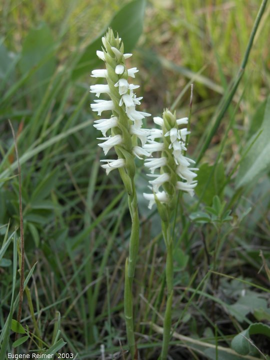 IMG 2003-Sep05 at near Rosa:  Great-plains ladies-tresses (Spiranthes magnicamporum)