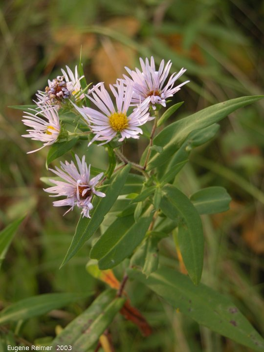 IMG 2003-Sep05 at DoverRd:  Aster (Aster sp)?