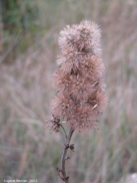 IMG 2003-Sep05 at C.S.BairdRd:  Meadow blazing-star (Liatris ligulistylis) seed-stage