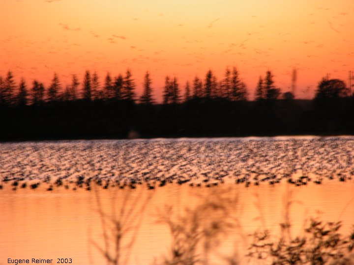 IMG 2003-Oct05 at FortWhyte:  Canada goose (Branta canadensis)
