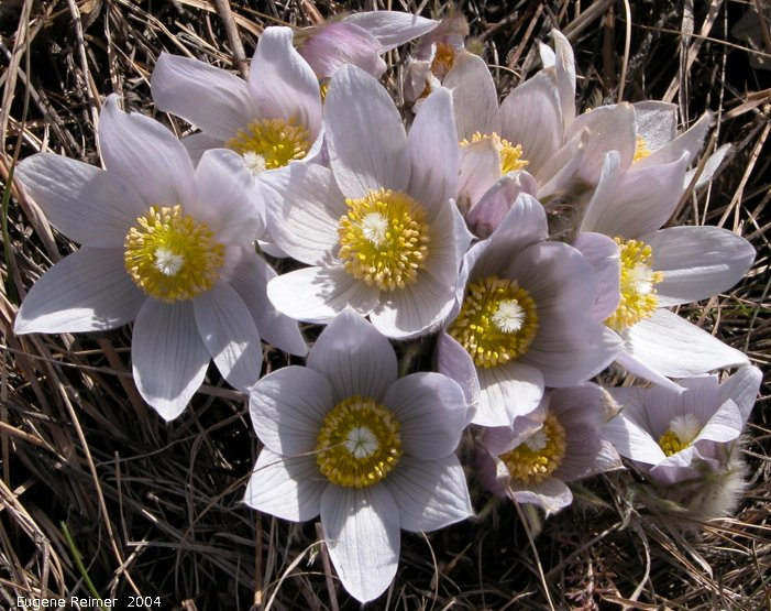 IMG 2004-Apr24 at Sunnyside Cemetery near BirdsHillPark:  Prairie crocus (Anemone patens) clump#2 in sun