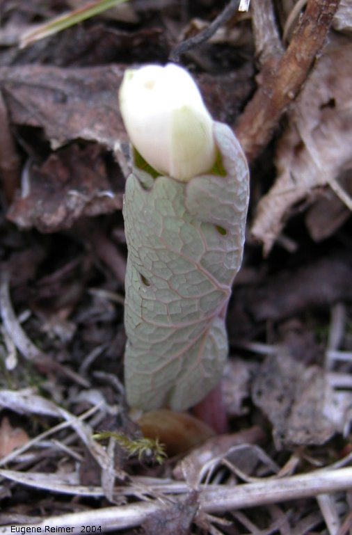 IMG 2004-May06 at Hadashville:  Bloodroot (Sanguinaria canadensis) bud