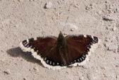 2004-May08 at Hadashville and Braintree:  Mourning cloak-butterfly (Nymphalis antiopa)