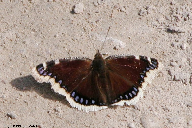 IMG 2004-May08 at Hadashville and Braintree:  Mourning cloak-butterfly (Nymphalis antiopa)