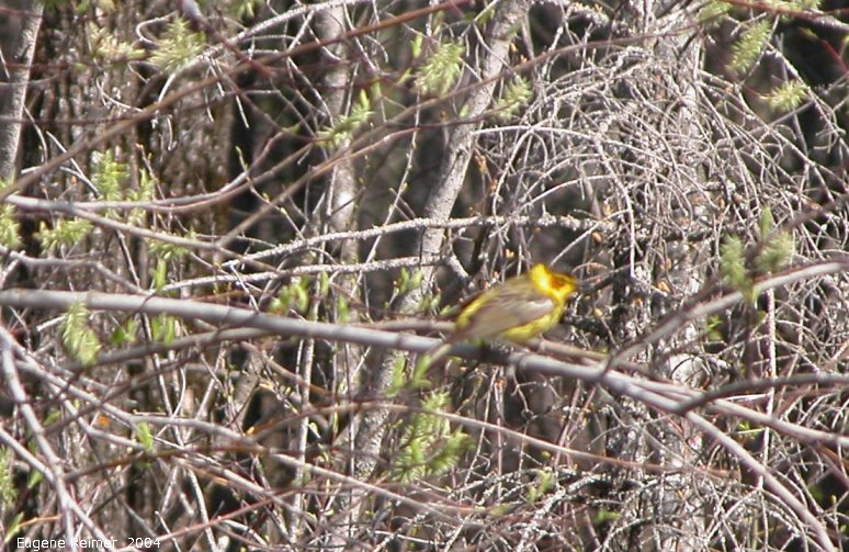 IMG 2004-May27 at Hadashville Braintree and Wye:  Cape-May warbler (Dendroica tigrina)