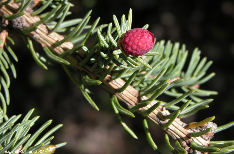 IMG 2004-Jun02 at MarbleRidge near FisherBranch:  White spruce (Picea glauca) male flower