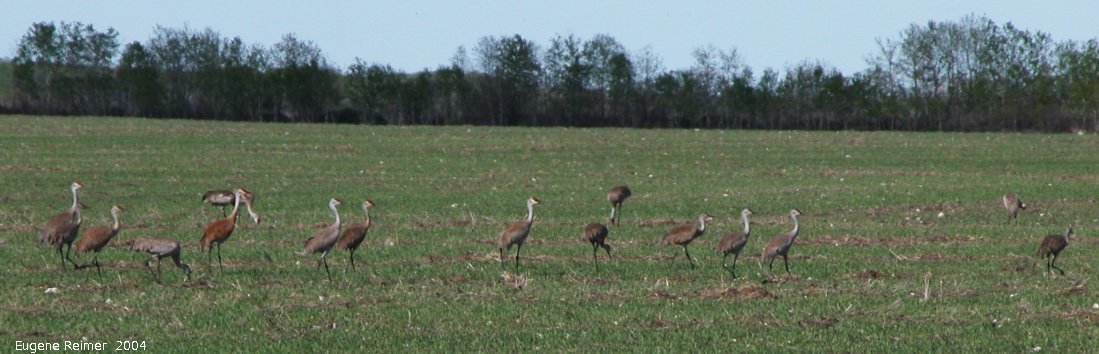 IMG 2004-Jun02 at MarbleRidge near FisherBranch:  Sandhill crane (Grus canadensis) many