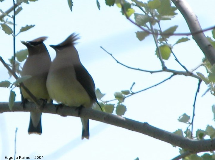 IMG 2004-Jun05 at MarbleRidge near FisherBranch:  Cedar waxwing (Bombycilla cedrorum) pair