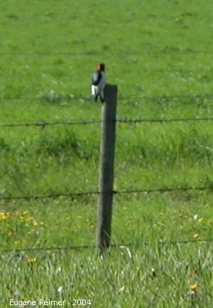 IMG 2004-Jun05 at near Alonsa:  Red-headed woodpecker (Melanerpes erythrocephalus) on fencepost